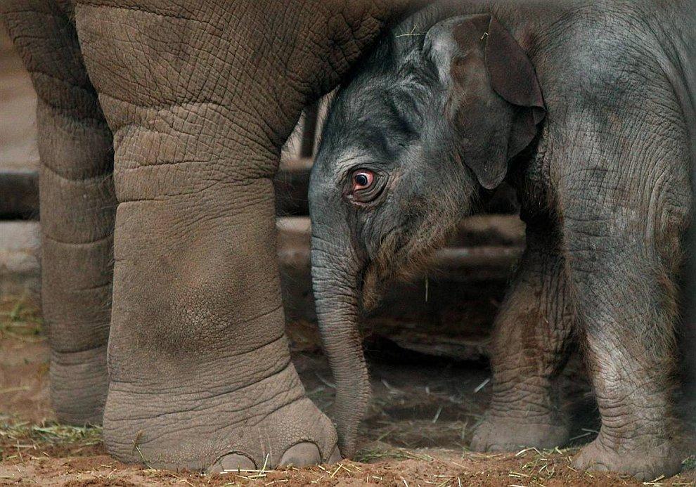 Индийский слоненок (www.LoveOpium.ru)
