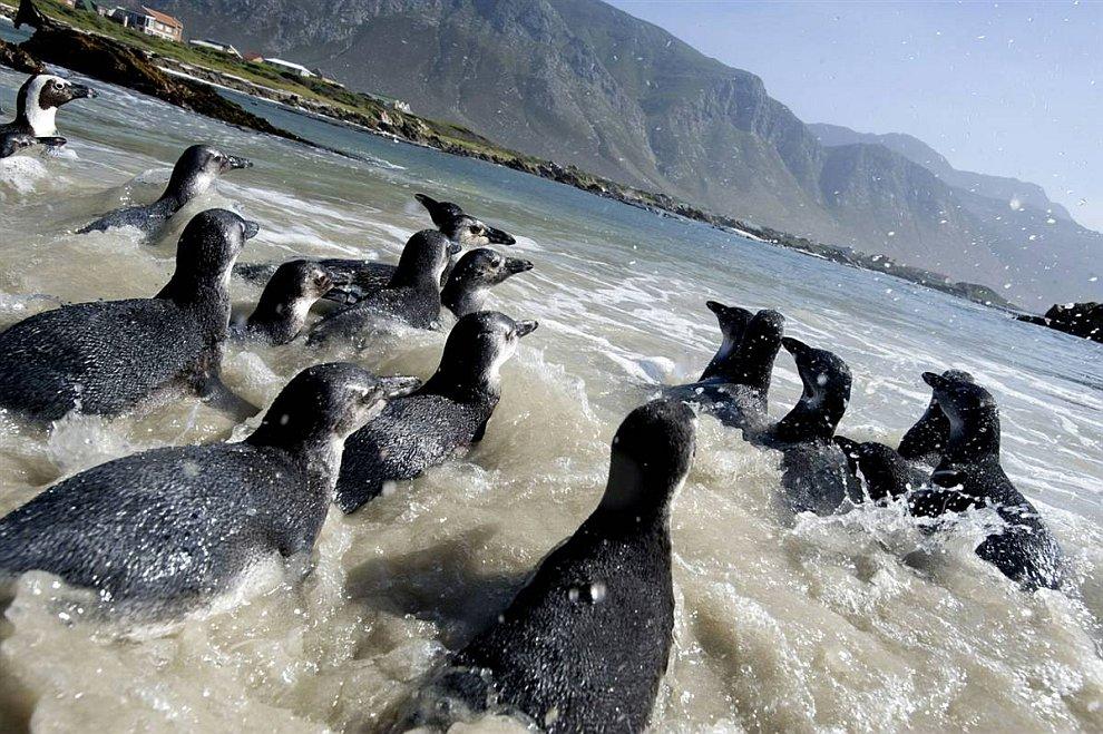 Африканские пингвины (www.LoveOpium.ru)