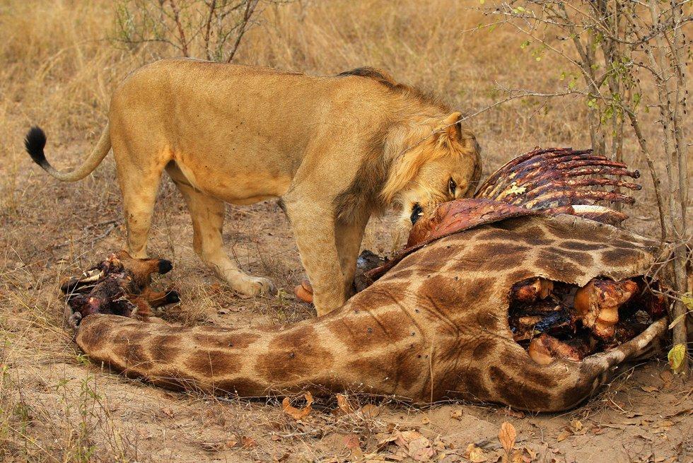 Лев ест жирафа