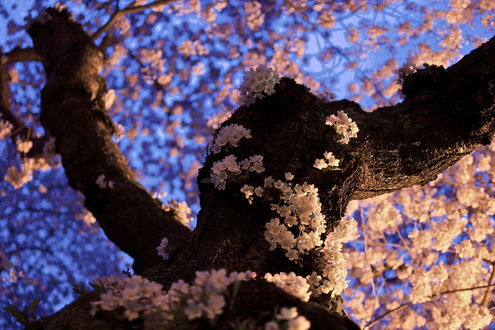 Цветущее дерево около университета в Вашингтоне