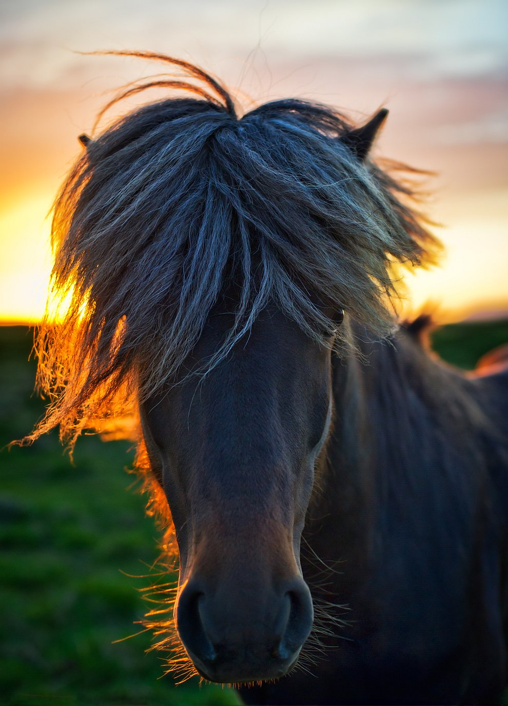 Лошадь на лугах в Северной Исландии перед закатом