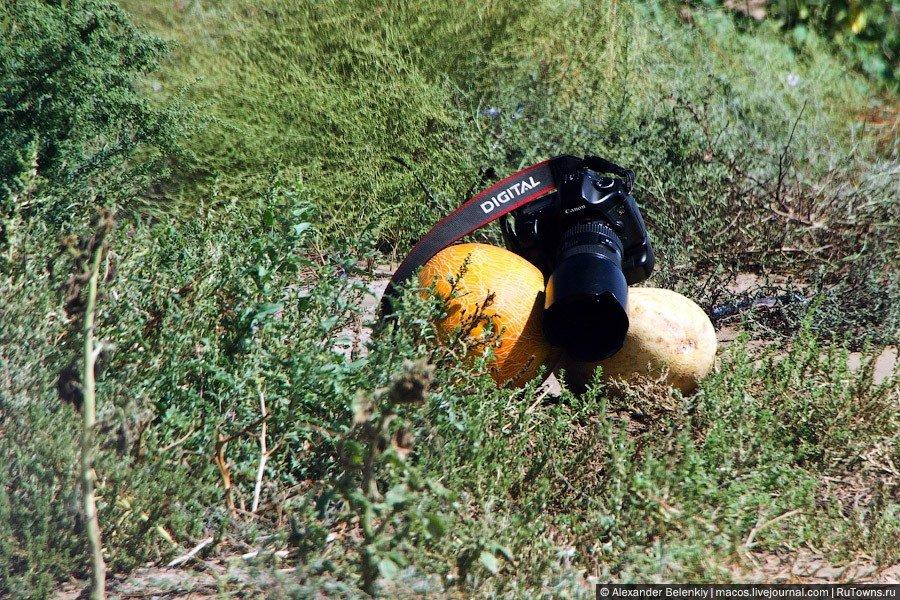 Как растут арбузы