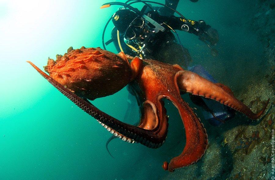 Дайвинг с тихоокеанским осьминогом