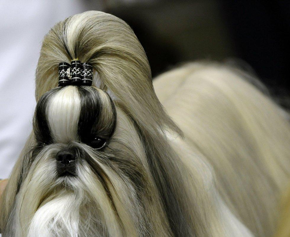 Выставка собак westminster kennel club dog show в нью