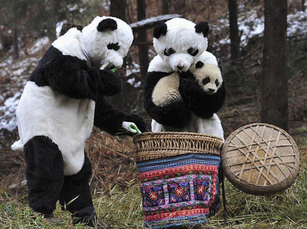 Исследователи в костюмах гигантской панды