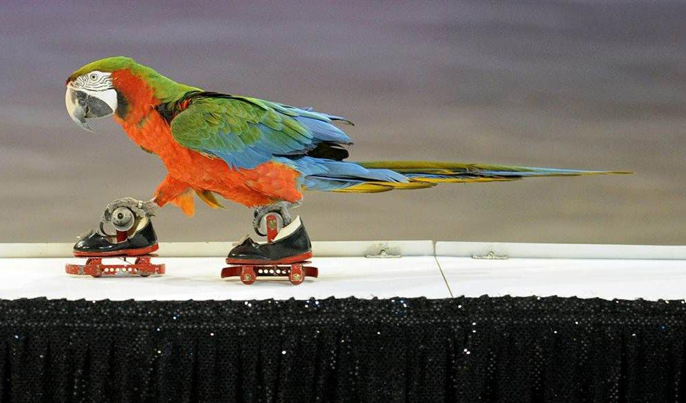 Дрессированный попугай из Италии