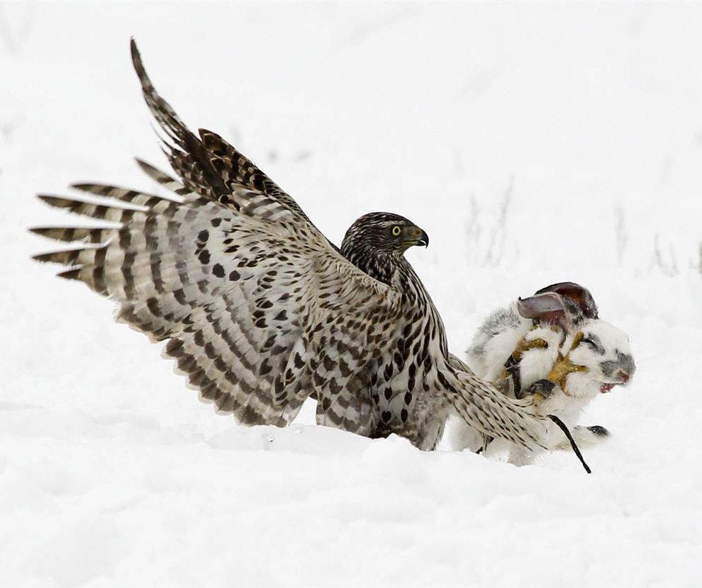 В Алматы прошло традиционное ежегодное соревнование в охоте с ловчими птицами