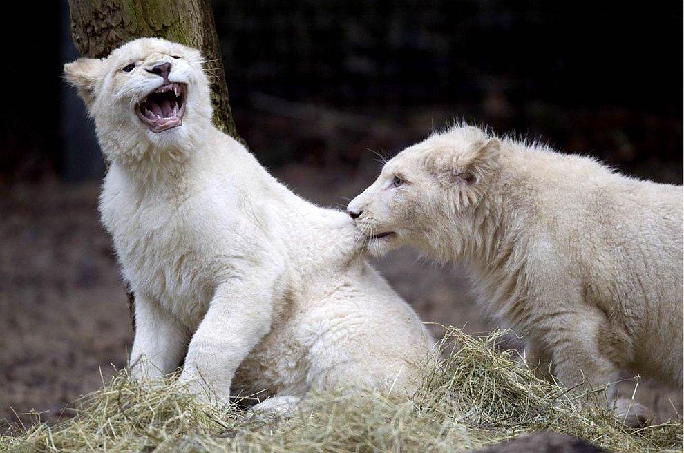 Два редких белых львенка