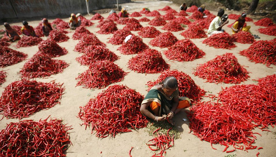 Сортировка перцев чили на ферме в Индии
