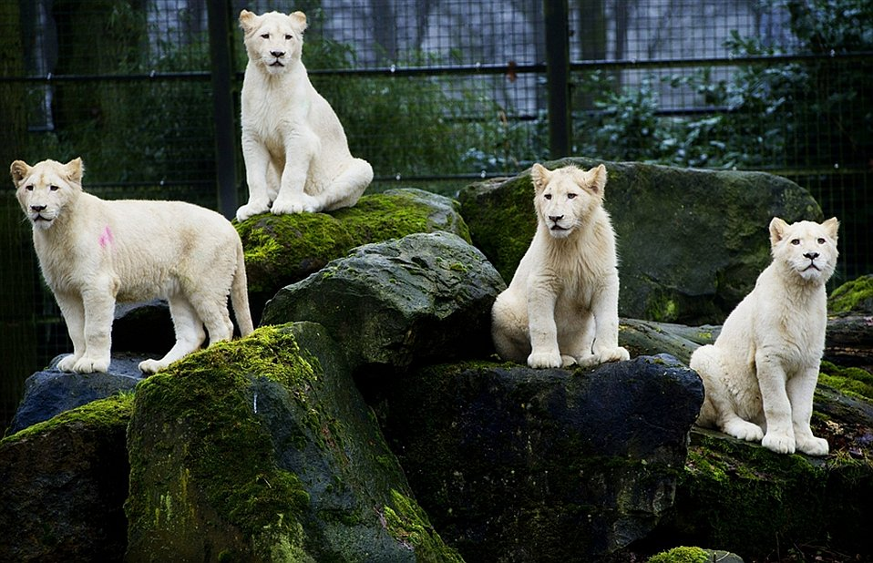 Четыре белых льва вышли на улицу впервые за 10 недель после карантина в нидерландском зоопарке