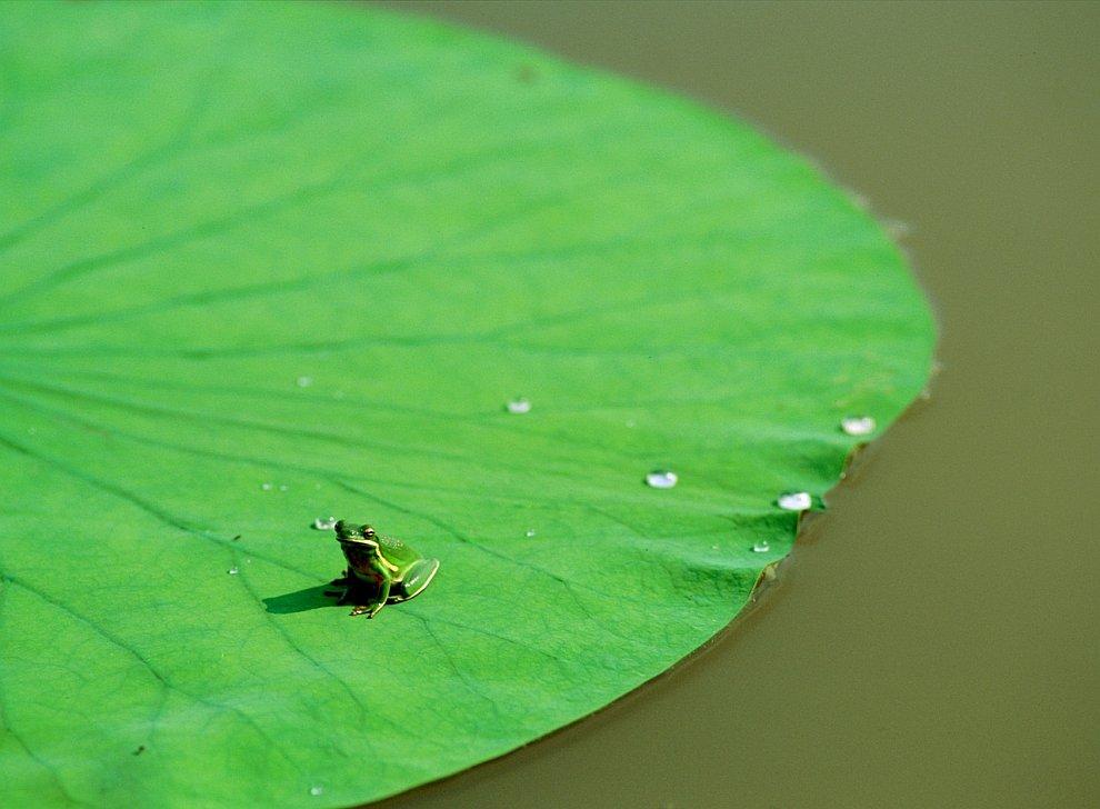 Лягушка на лилии