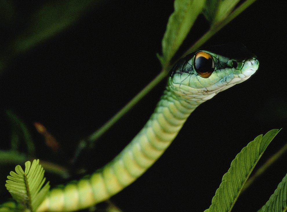 Зеленая древесная змея