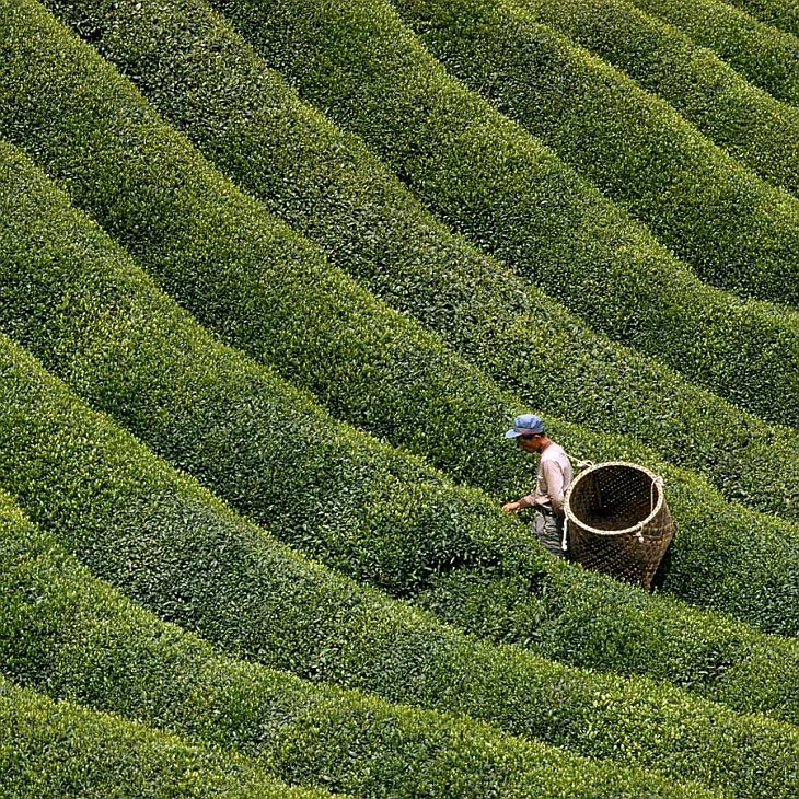 Collecting tea leaves