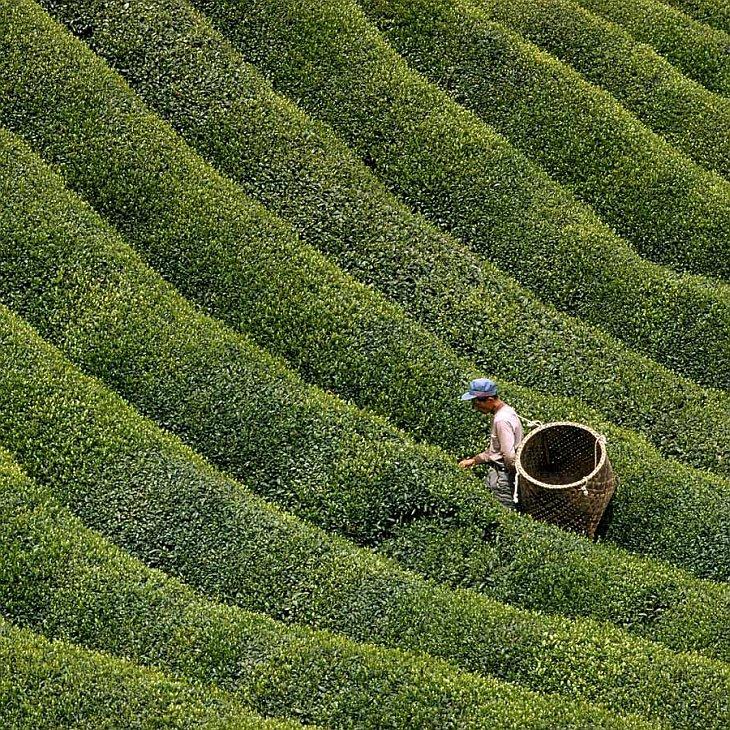 Собирая чайные листья