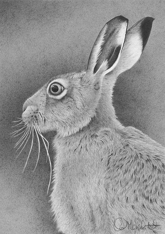 Заяц - русак