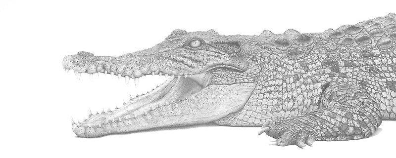 Молодой крокодил