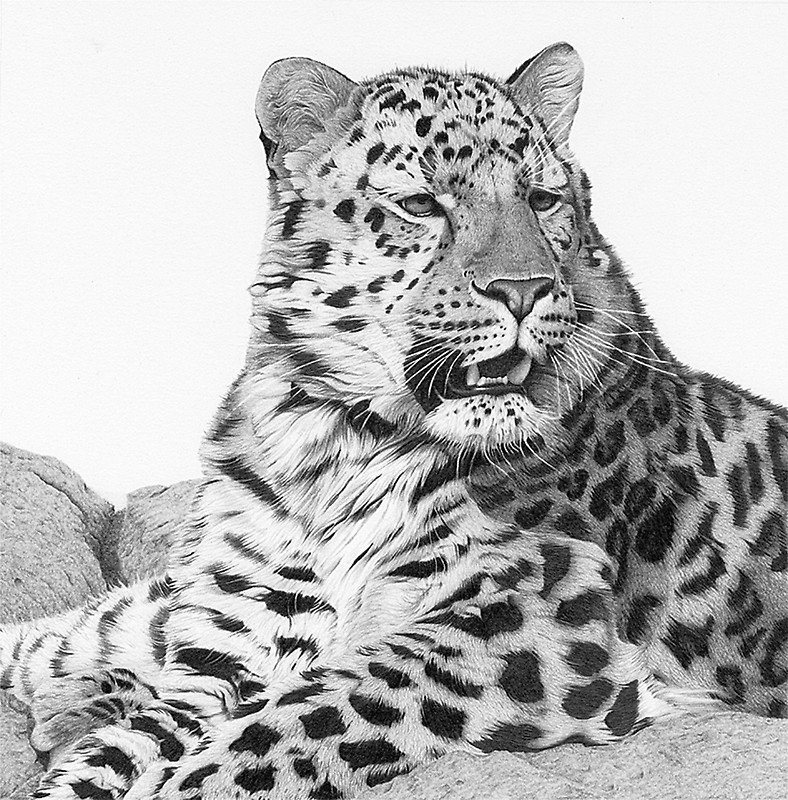 The Far Eastern leopard