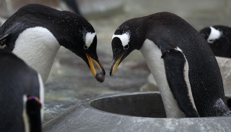 В шотландском зоопарке в городе Эдинбург у пингвинов начался брачный период
