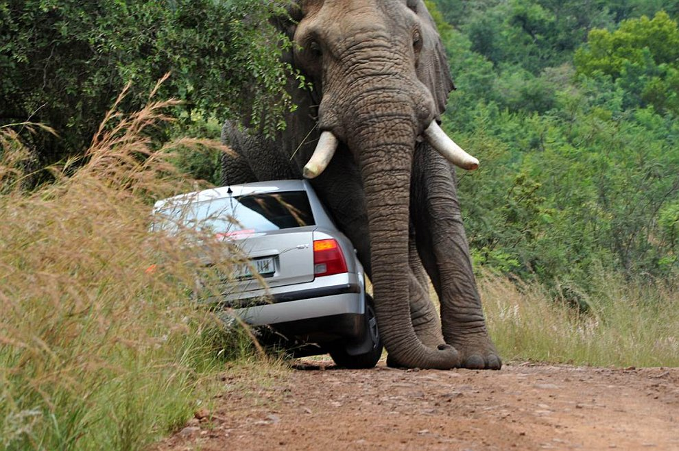 Амарула — самый крупный слон заповедника