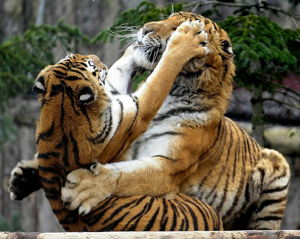 Сибирские тигры