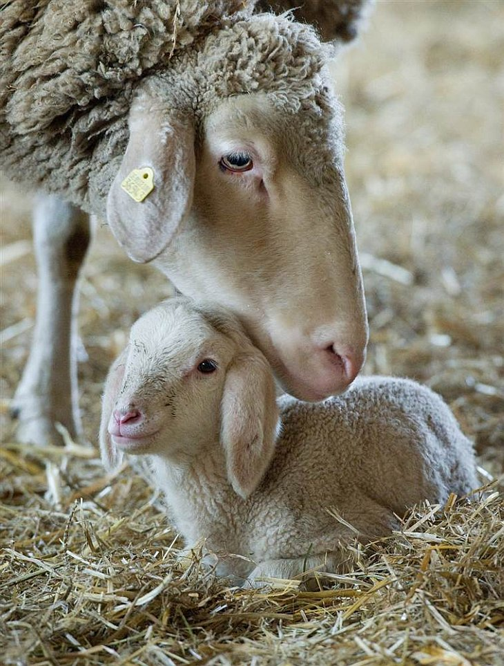Двухдневный ягненок со своей матерью