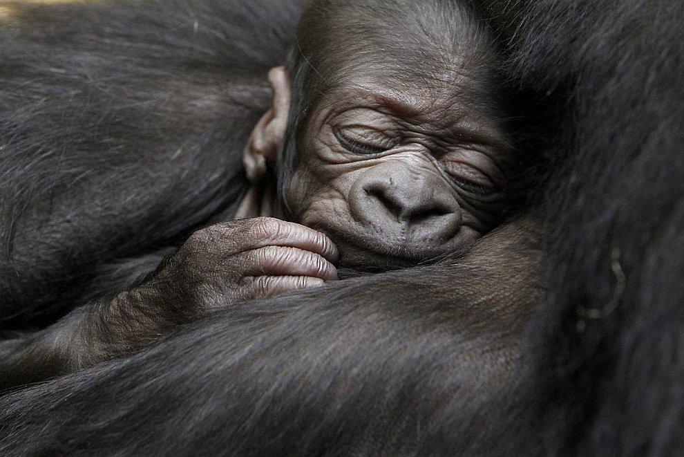 5-дневный детеныш гориллы в зоопарке Цюриха, Швейцария