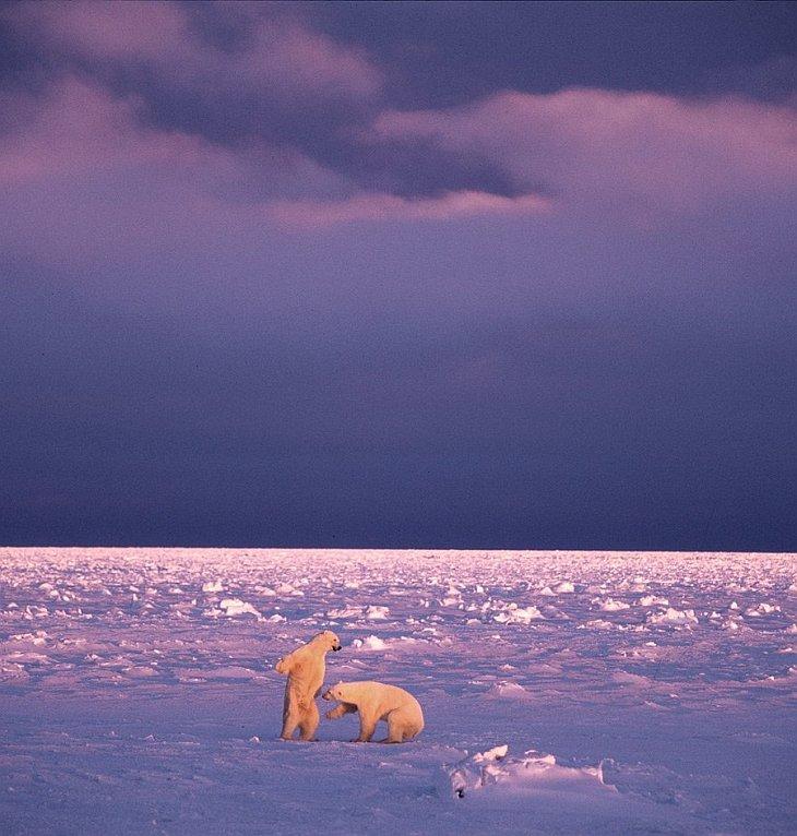Белые медведи в сумерках