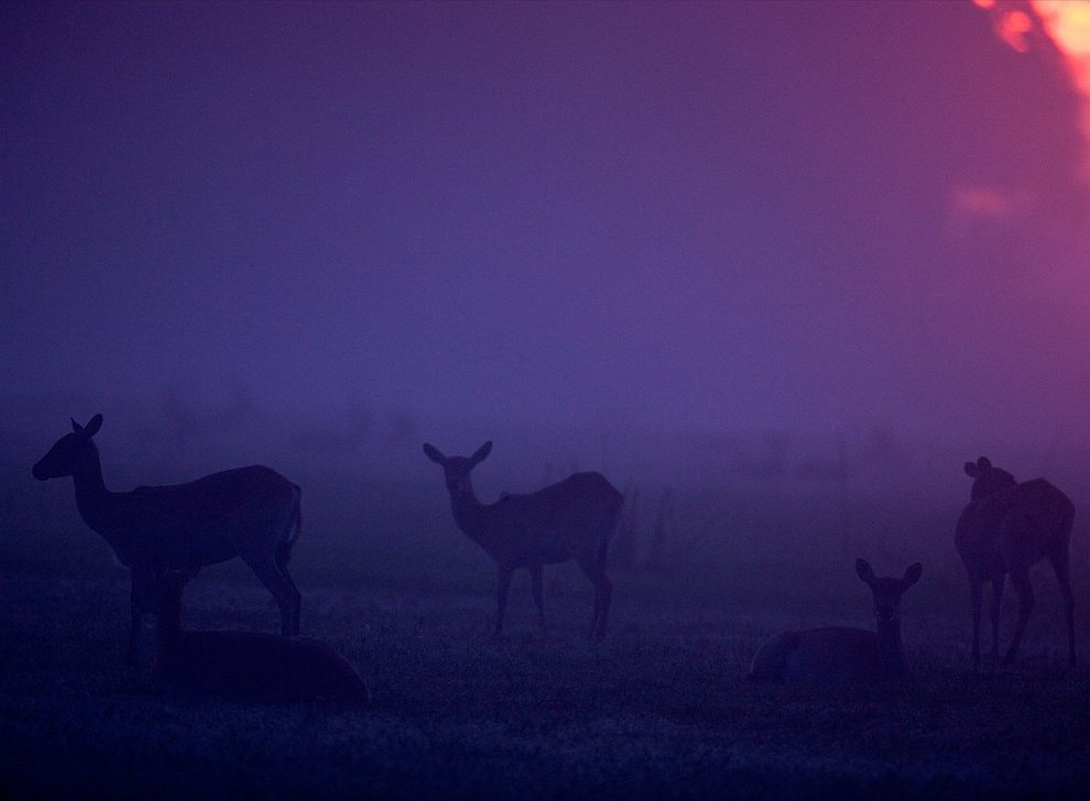 Antelope at dusk