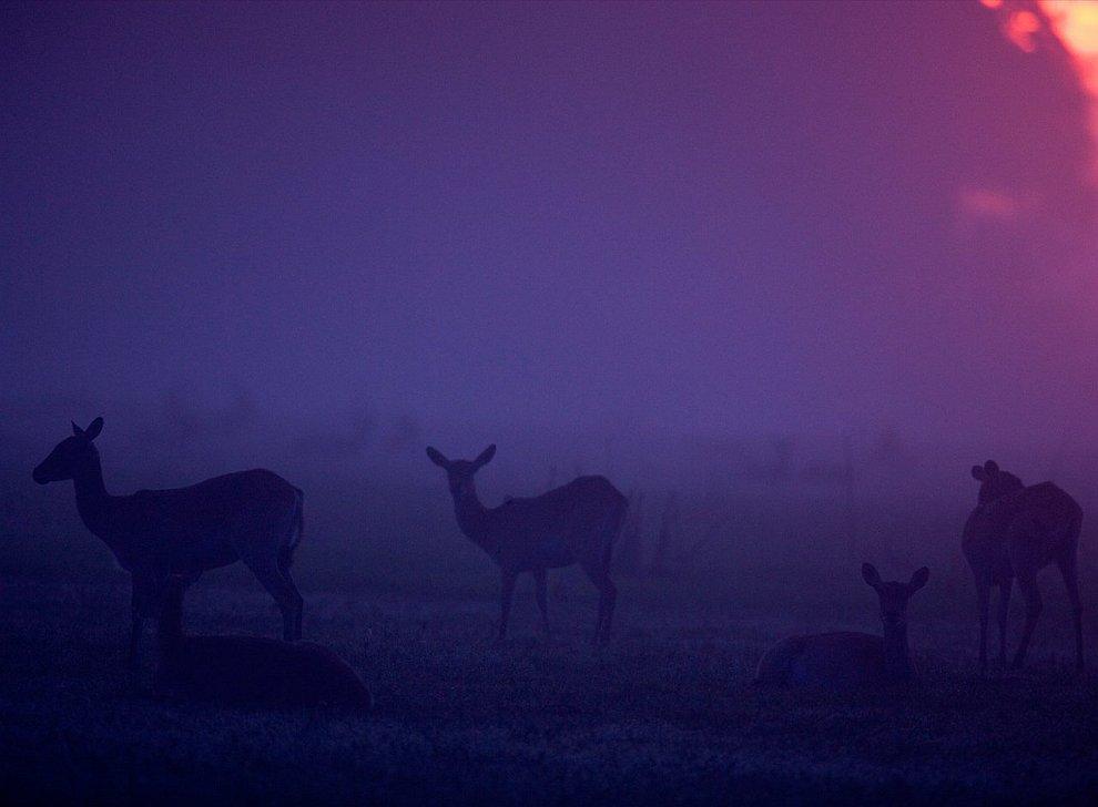 Антилопы в сумерках