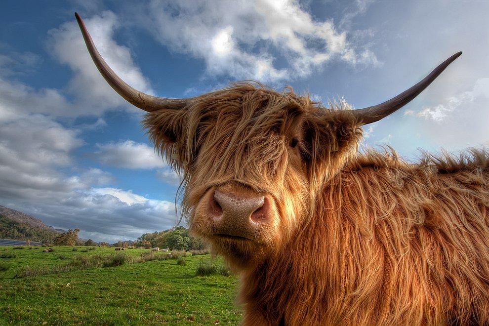 Корова из Исландии