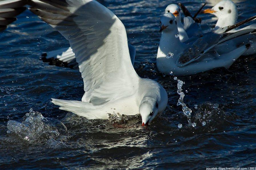 Средиземноморская чайка