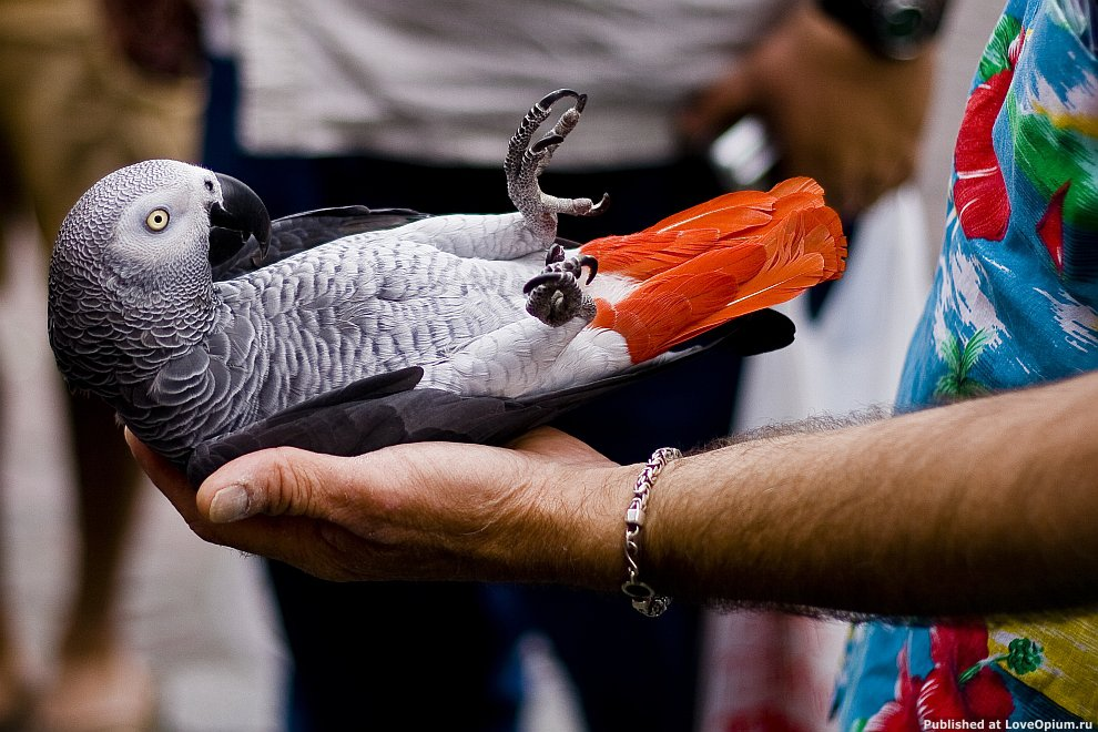 Жако (серый попугай)