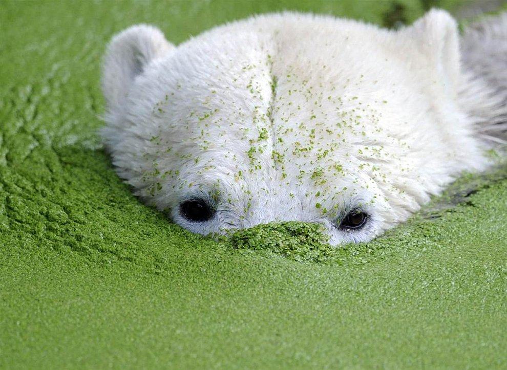 В Берлине умер знаменитый белый медведь Кнут