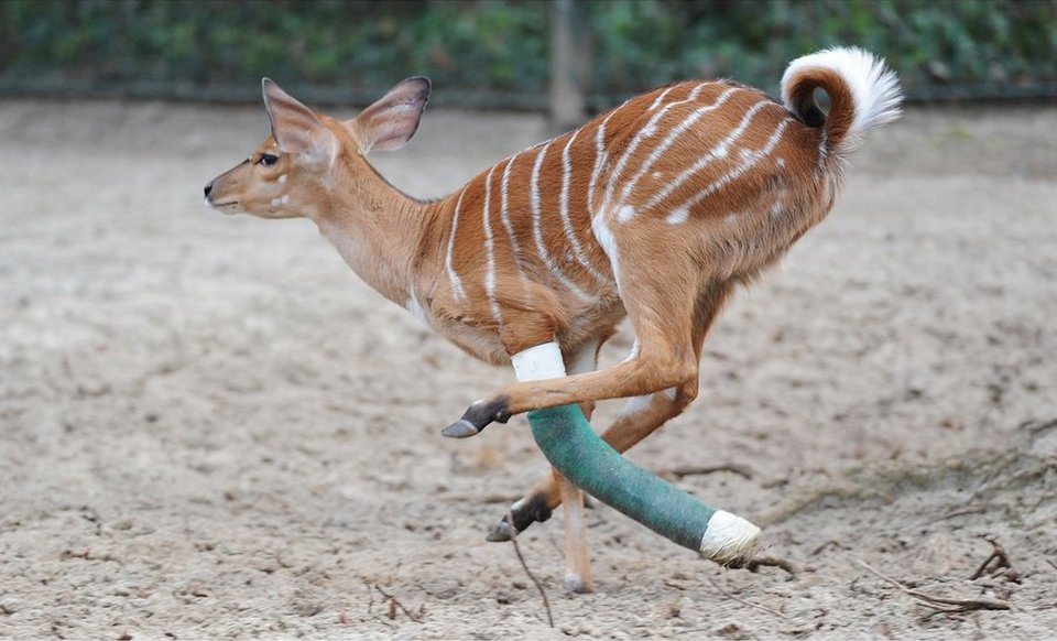 Антилопа по имени Говард из зоопарка Ганновера сломал ногу во время прыжка