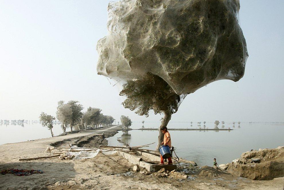 Нашествие пауков на деревья в Пакистане