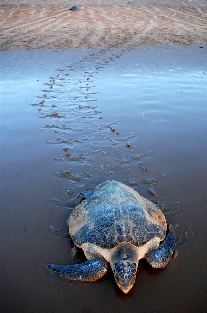 Оливковая черепаха Ридли