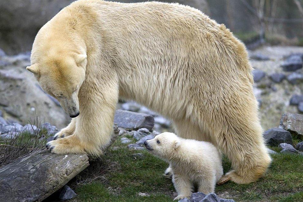 Белый медвежонок с мамой в зоопарке