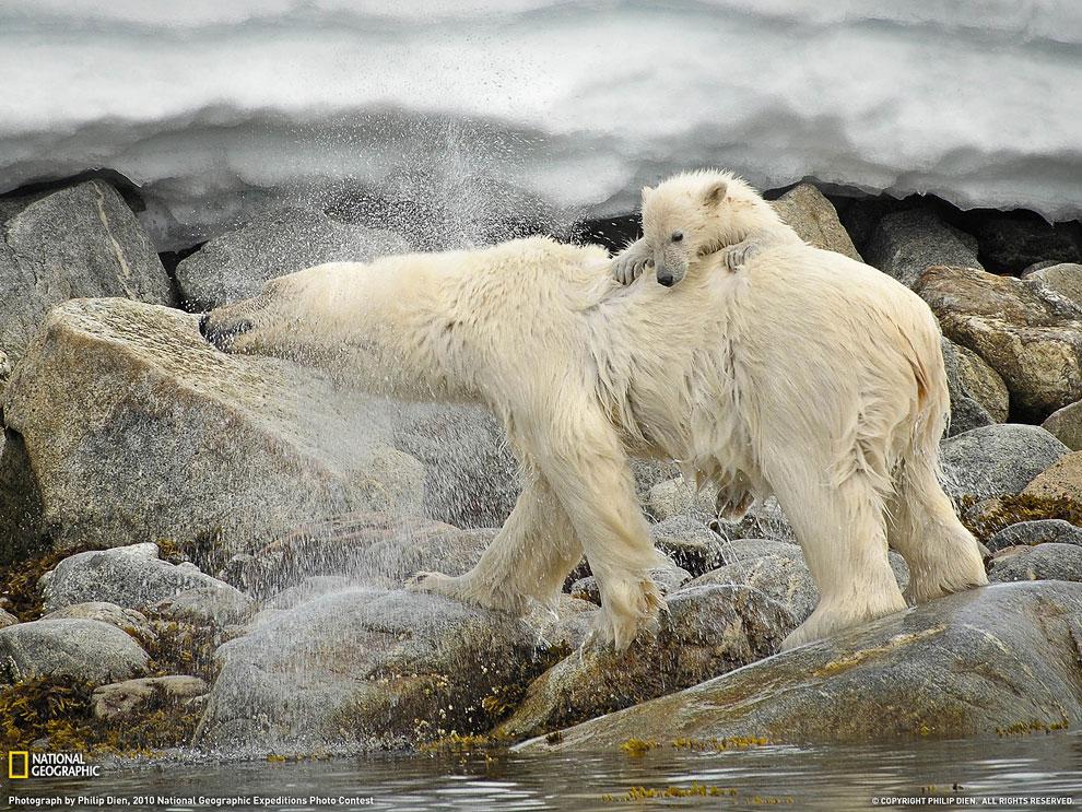 Белые медведи, Шпицберген