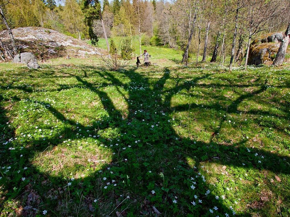 Вековой дуб, Швеция