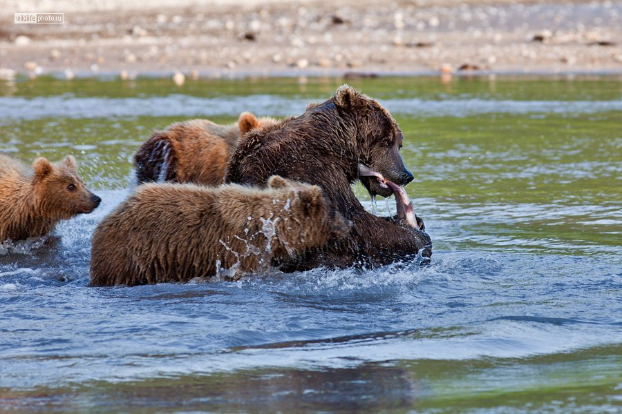 Медвежья рыбалка (18 фото)