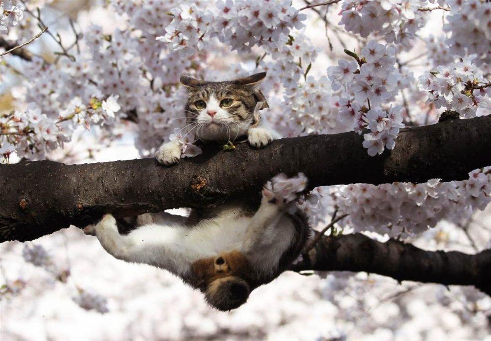 Кошка чуть было не соскользнула с цветущей вишни в парке Токио