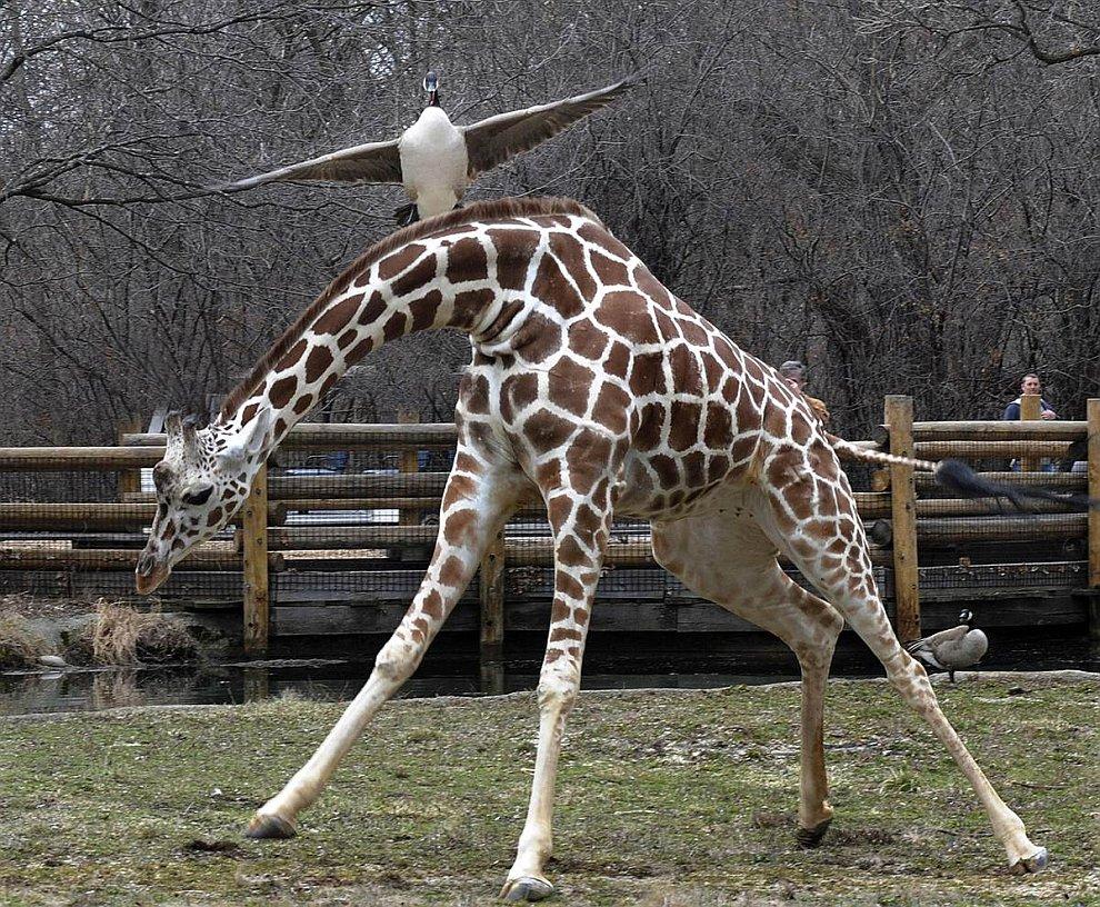 Низколетящий Канадский гусь чуть было не врезался в жирафа