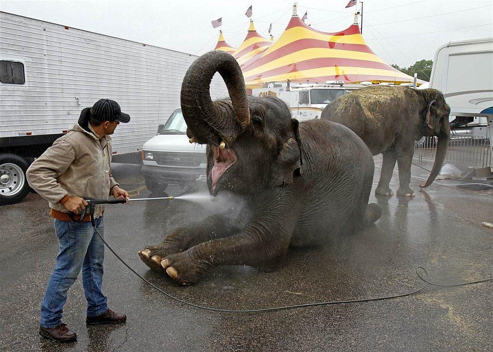 Водные процедуры у слонов