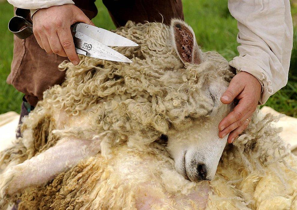Обстригание шерсти у овечки