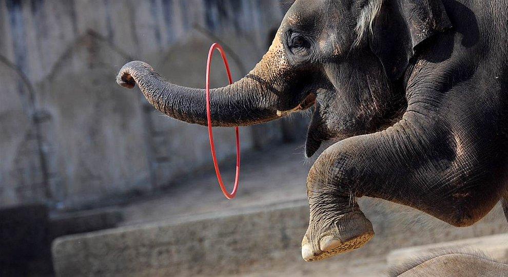 Слон с обручем