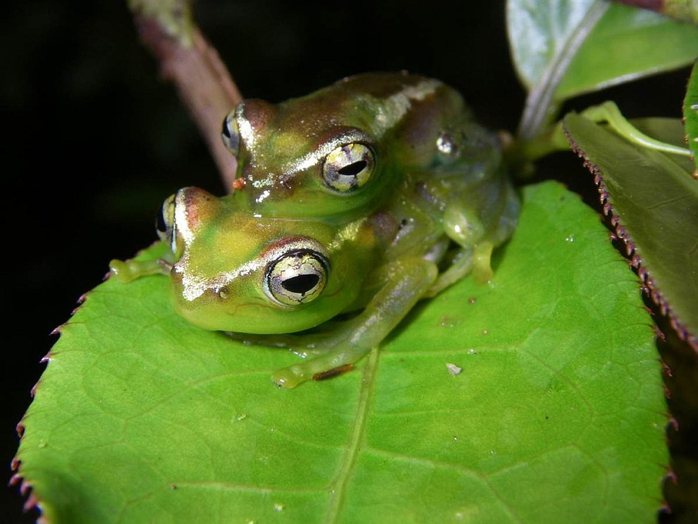 Лягушка Boophis lilianae