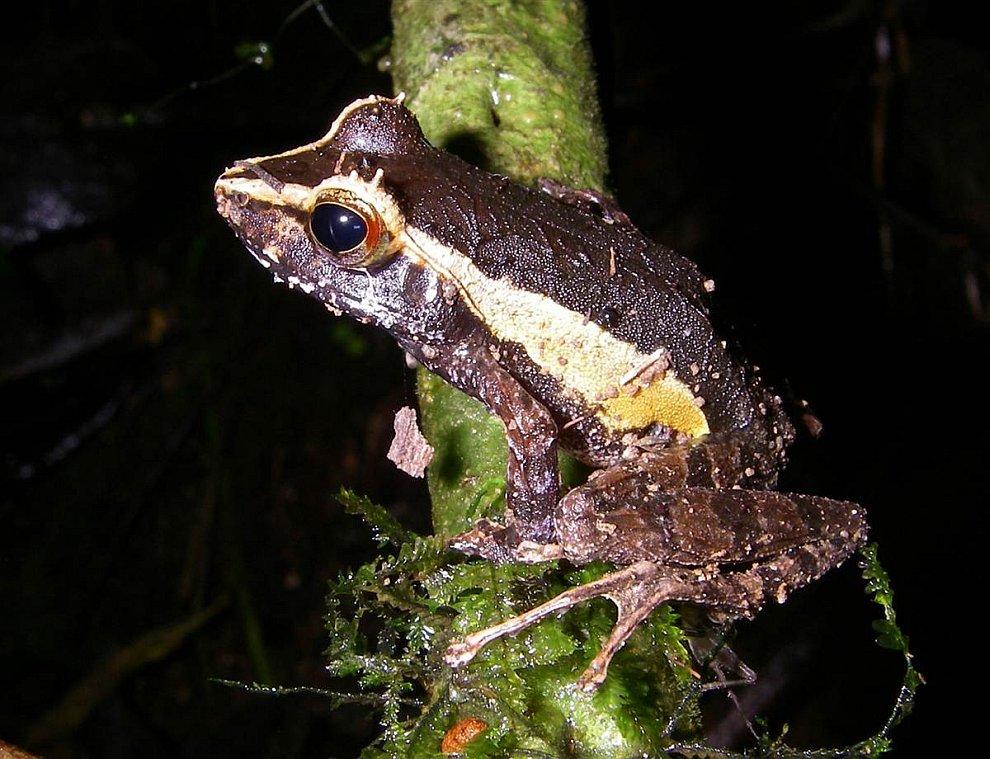 Лягушка Gephyromantis tschenki