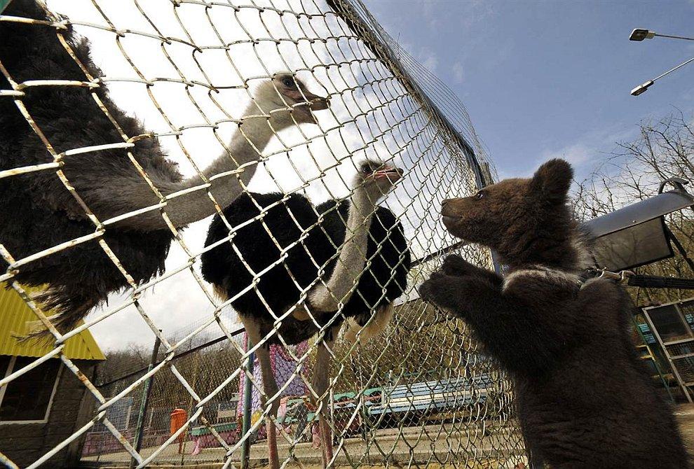 Страусы и медвежонок