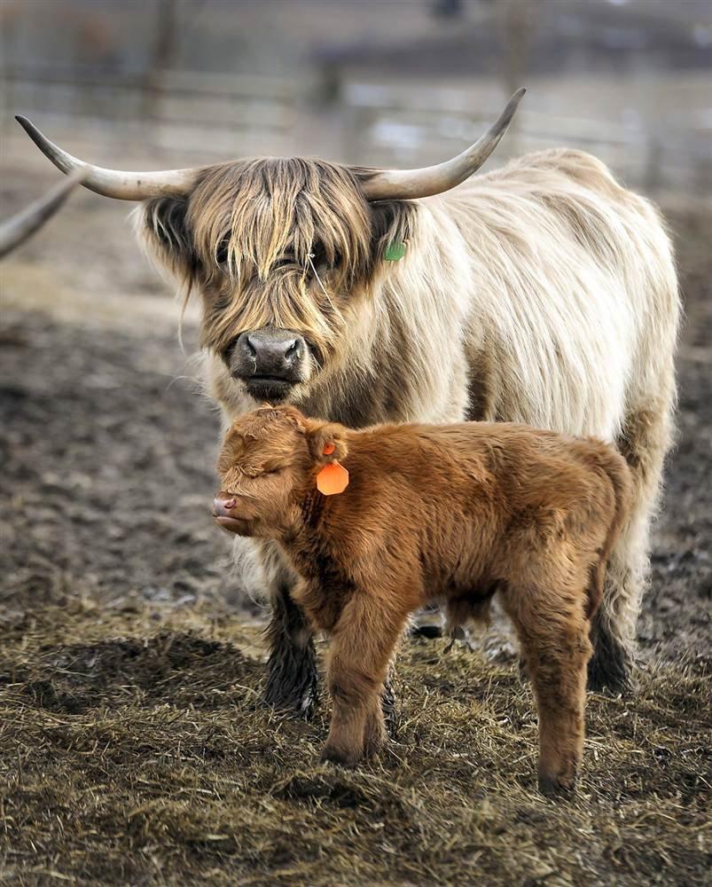 Шотландские коровы