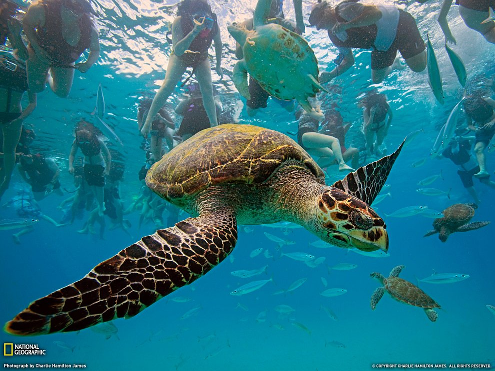 Бисса — вид морских черепах